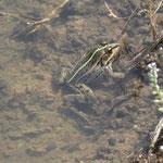 ハス池のトノサマガエル
