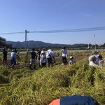 稲刈り体験イベント2