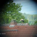 Feline bei der morgendlichen Säuberung auf einem Dach, unweit ihres Horstes.  Foto: Ulrike Mose  30.05.13