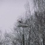Im Schneegestöber auf der Ausweichlaterne, unterhalb des Schornsteinnestes.  Foto: Ulrike Mose