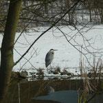 Graureiher an unserem Teich am 14. März 2013   Foto: Ulrike Mose