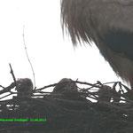 ... und DREI Storchenjunge im Nest von Feline + Friedrich!!