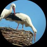 Feline + Friedrich beim aufhübschen ihres Nestes 15.04.13   Foto Riedinger
