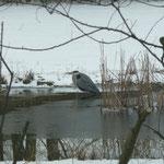 Graureiher in unserem Teich am 14. März 2013  Foto:  Ulrike Mose