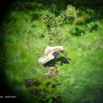 Große Putzaktion bei der Storchenfamilie an der Eder.  Foto: Ulrike Mose  30.05.13