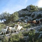 Des lamas au sommet de Pied-Cheval
