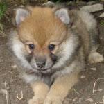 Alf ähnelt immer mehr einem kleinen Fuchs