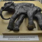 Ostsibirisches Mammut-Kalb im Zoologischen Museum.