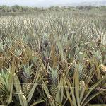 Ananasfelder in der Nähe der Ortschaft El Peje