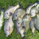 Fische fischen...
