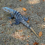 Leguane gibts auch in blau^^