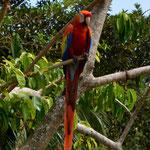 Federvieh in der kolumbianischen Karibik.