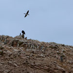 Humboldt-Pinguine auf den Islas Ballestas.