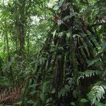 Eine chonta (Wanderpalme) in Longo Mai