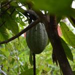 Kakaofrucht.