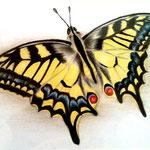 Schwalbenschwanz - Zeichnung