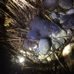 18. März 2015, Erste Frosch-Laich-Ballen, noch ungeschützt