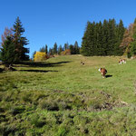 Les vaches profitent encore de l'alpage