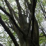 B54 - Carpinus betula