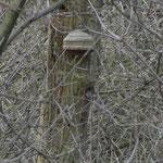 Sittelle torchepot - Sitta europaea - visitant le même trou, mars 2013