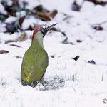 Pic vert, J.Fouarge, www.oiseaux.net
