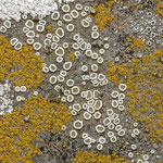 Lecanora dispersa