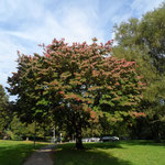 B49 - Prunus serrulata