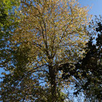 B8 - Populus balsamifera