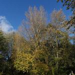 B7 - Populus balsamifera
