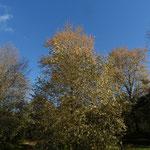 B7(milieu)-B8(à droite) - Populus balsamifera