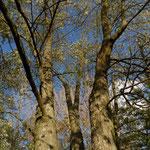 B11 - Populus nigra