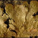 Melanelixia subaurifera