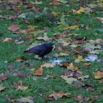 Corneille noire - Corvus corone