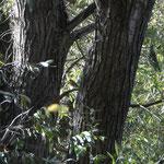 Rougegorge - Erithacus rubecula