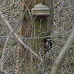 Pic épeiche - Dendrocopos major - visitant un trou dans un arbre mort dans le bosquet derière la caserne des pompiers, notez la présence du Polypore amadouvier, Fomes fomentarius, mars 2013