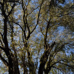 B118-B119-B120 - Salix alba
