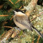 Mésange boréale, Aurélien Audevard, www.oiseaux.net