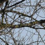Geai des chênes - Garrulus glandarius