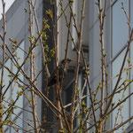 Etourneau sansonnet - Sturnus vulgaris