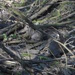 Lapin de garenne - Oryctolagus cuniculus