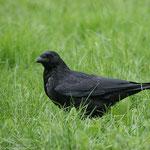 Corneille noire, Didier Collin,  www.oiseaux.net