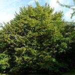 B54-B55-B56 - Carpinus betula