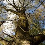 B12 - Populus nigra