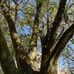 B10 - Populus nigra