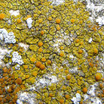 Caloplaca citrina