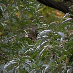 Fauvette à tête noire (femelle) - Sylvia atricapilla