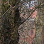 Rougegorge familier - Erithacus rubecula