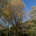 B10-B11-B12 - Populus nigra