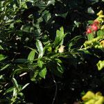 Pouillot véloce - Phylloscopus collybita
