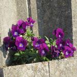 市が尾高校横の塀にはボランティアの方の植栽の「菫」で和む